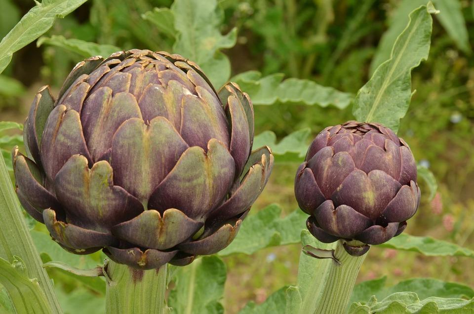 Artichoke, Vegetable, Purple, Red, Food, Sheet, Petal