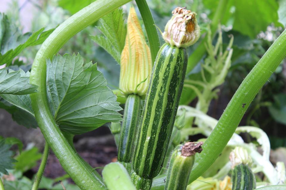 Zucchini, Green Zucchini, Vegetables, Delicious, Fresh