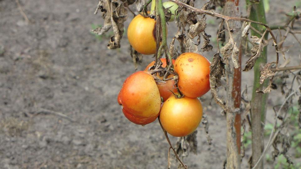 Tomatoes, Plant, Crop Failure, Rotten, Vegetables