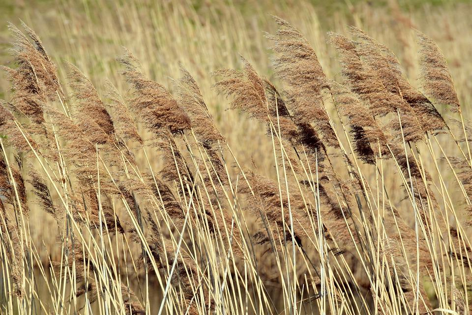 Reed, Dry, Blow, Wind, Reed Pipes, Brown, Vegetation