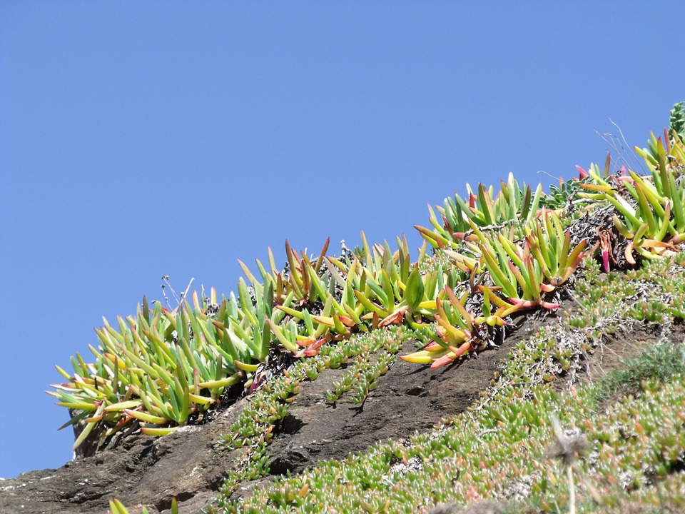 Succulents, Vegetation, Cornwall, Coast, Coastline