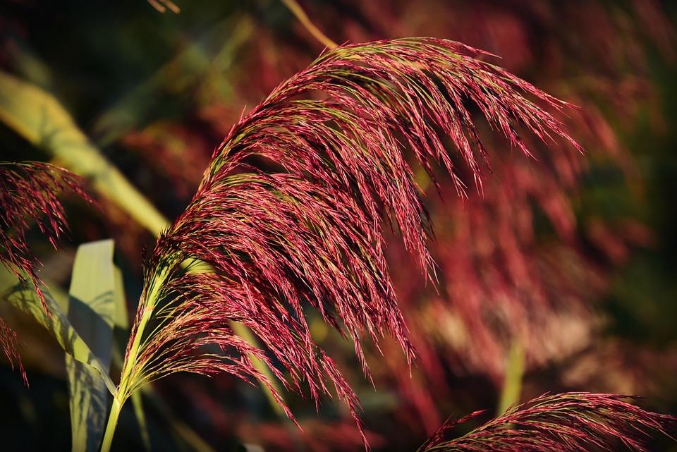 Phragmite, Plume, Reed, Plant, Feathery, Vegetation