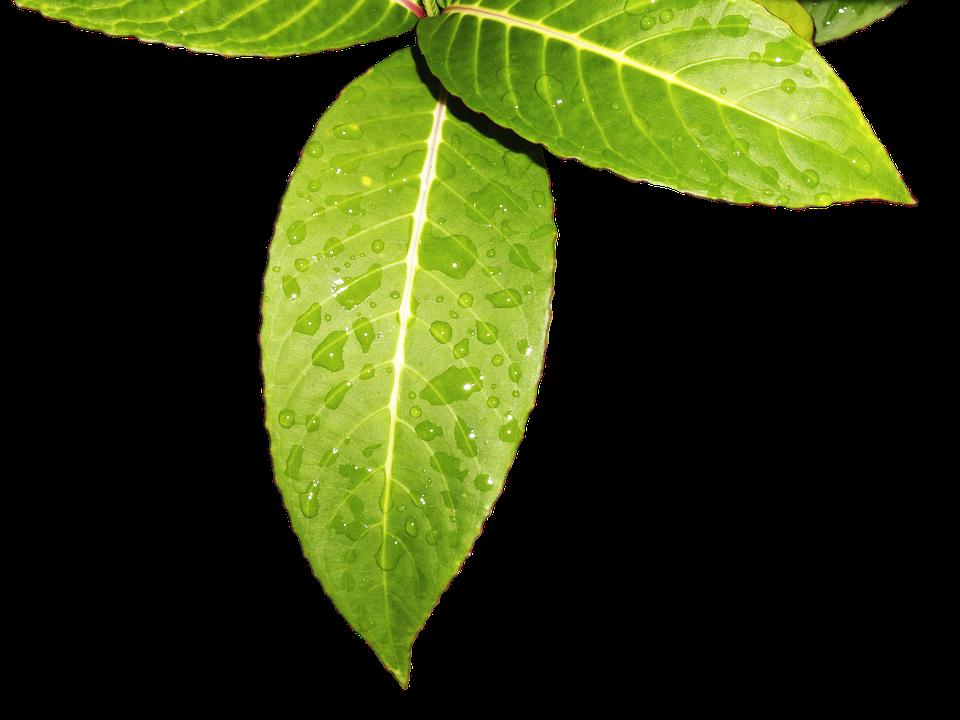 Leaves, Foliage, Green, Green Leaves, Vegetation