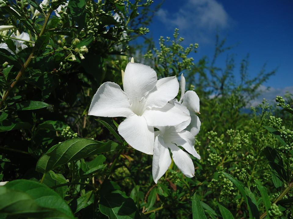White Flowers, Vine, Vegetation, Wild Flowers