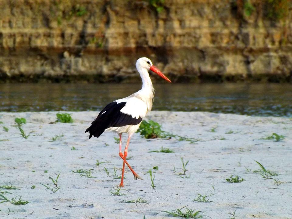 Stork, Birds, Sand, Vegetation, Water