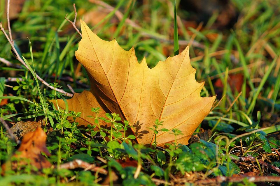 Maple Leaf, Veins, Leaf Veins, Dried Leaf