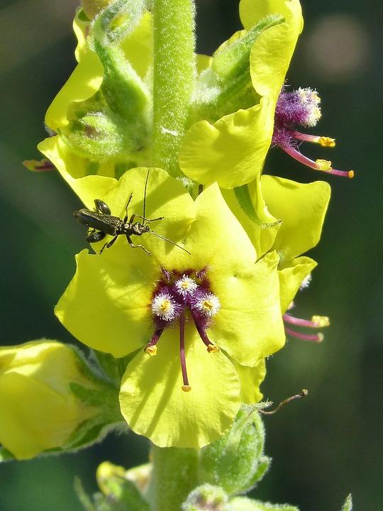 Verbascum Boerhavii, Wild Flower, Green Beetle, Detail