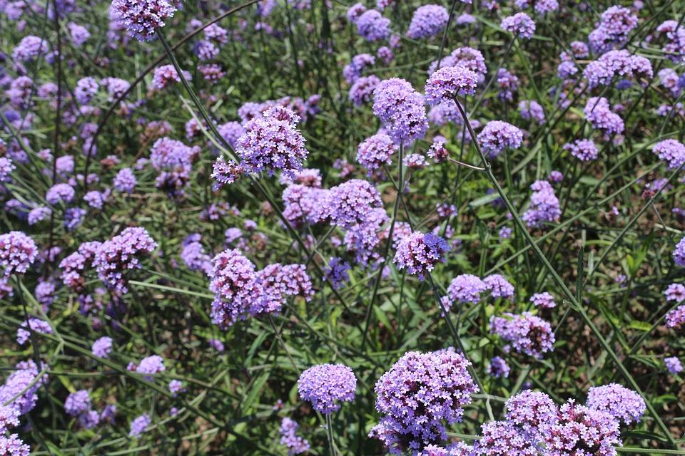Flowers, Verbena, Purple