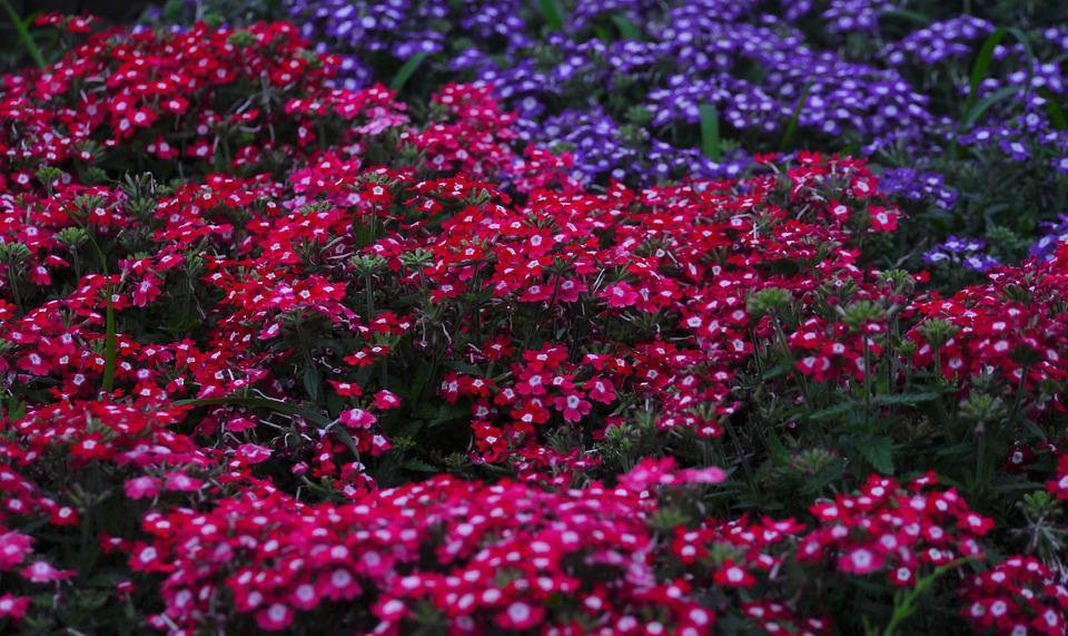 verbena flowers verbenaceae red red purple purple