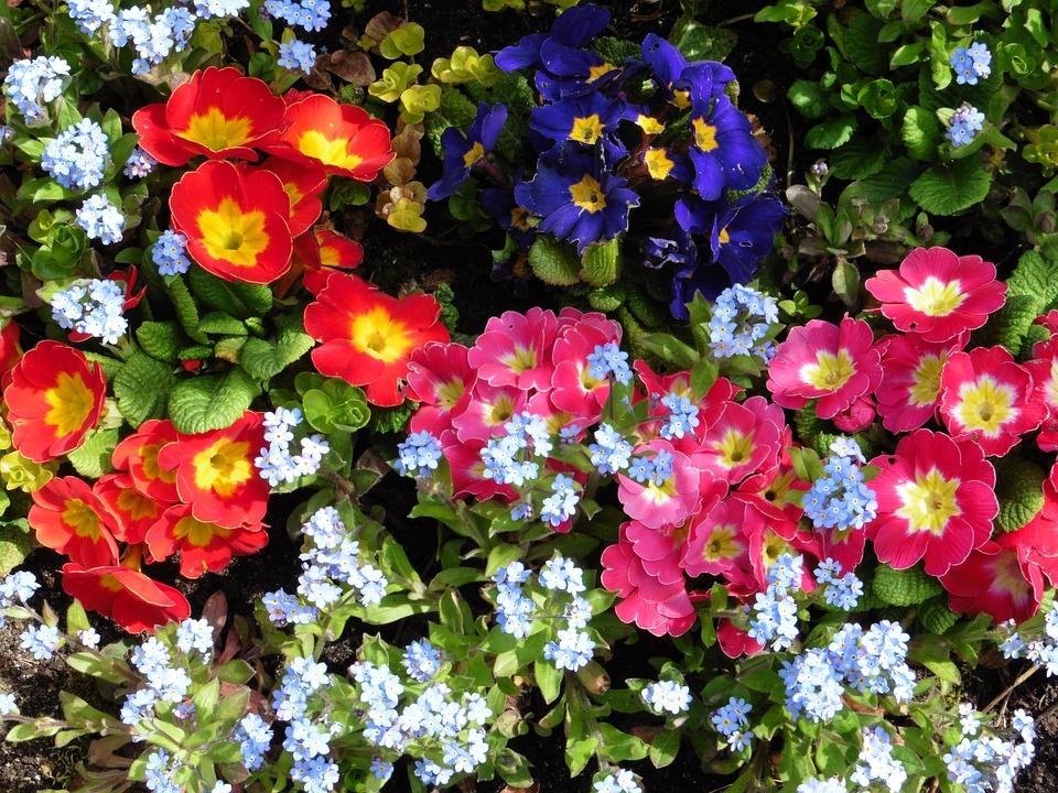 Primula, Vergeetmijnietjes, Flowers