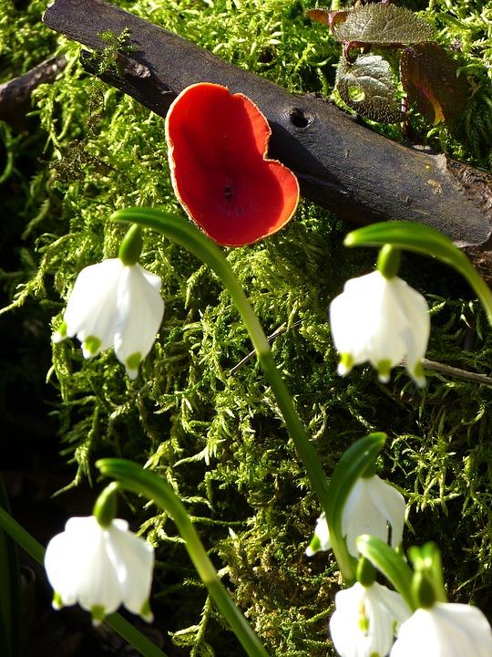 Vermilion Kelchbecherling, Mushroom, Snowflake, Spring