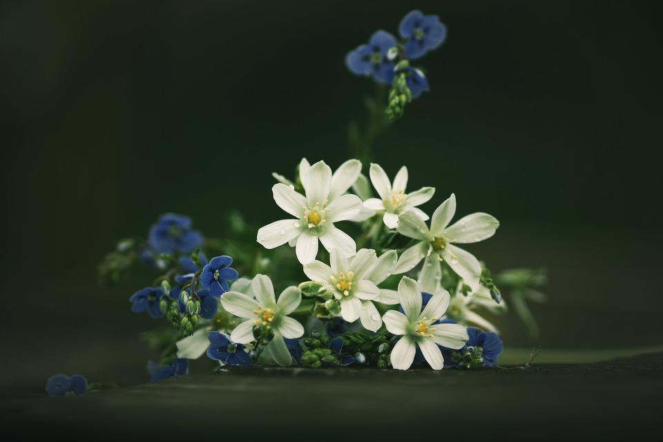 Flowers, Still Life, Veronica, Blue, White