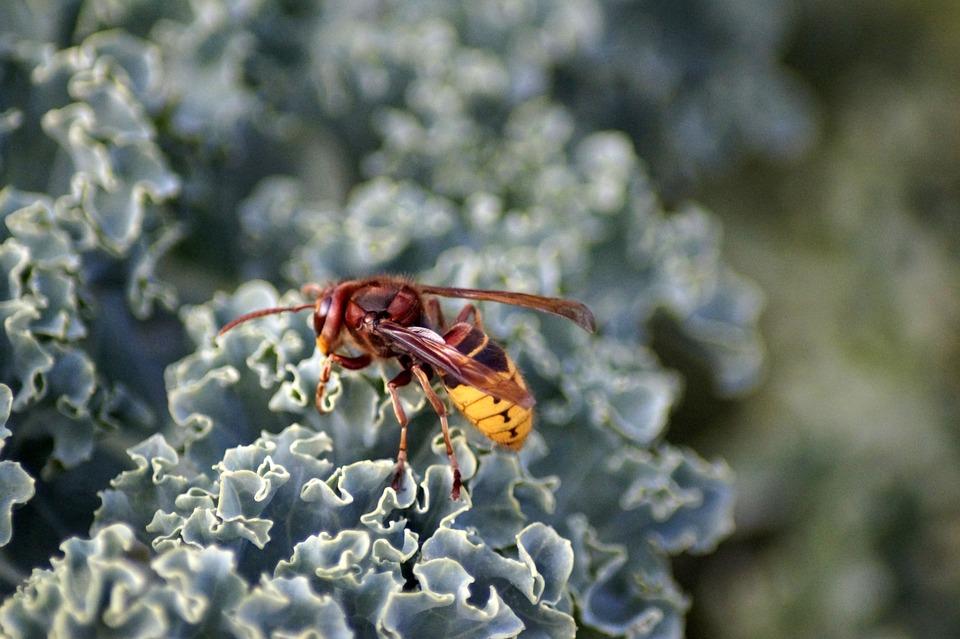 Hornet, Vespa Crabro, Vespidae Stubs, Insect, Sting