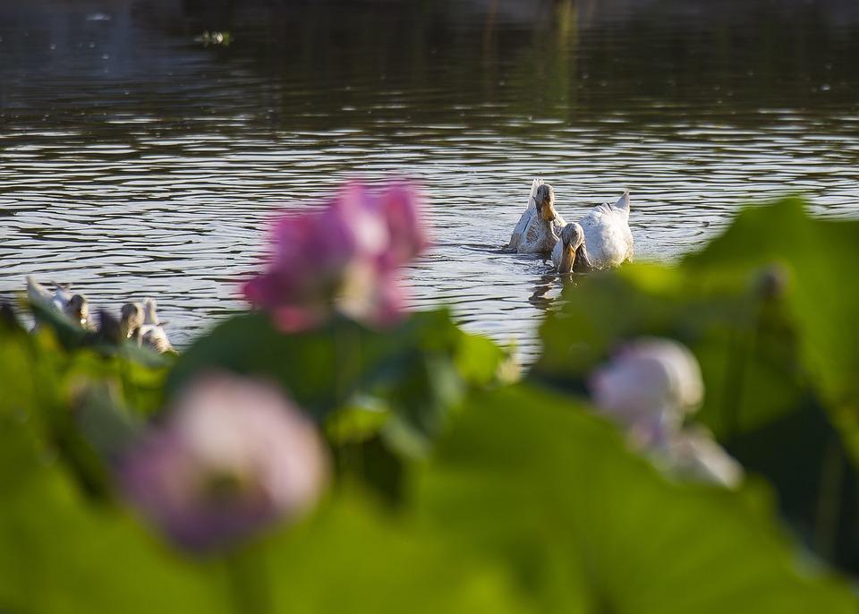 Duck, Lotus, May Flower Season, Vibrant Colors, Plants
