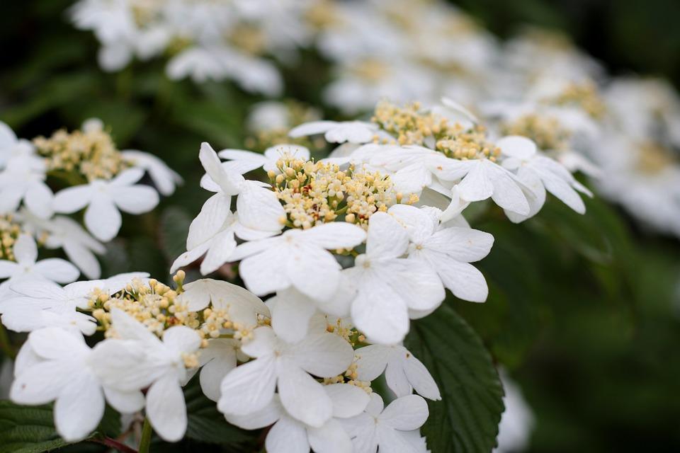 Viburnum Plicatum Watanabe, Randbloemen, Umbels, White