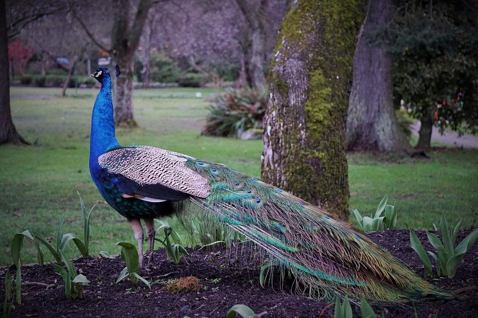 Peacock, Bird, Beacon Hill Park, Victoria Bc