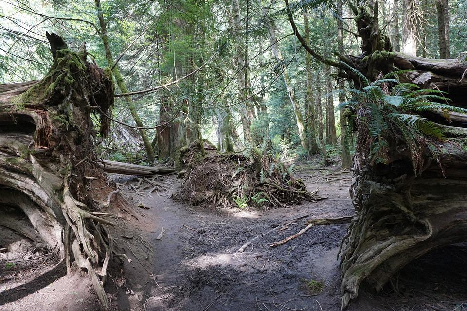 Path, Cathedral Grove, Victoria Bc, Tree, Nature