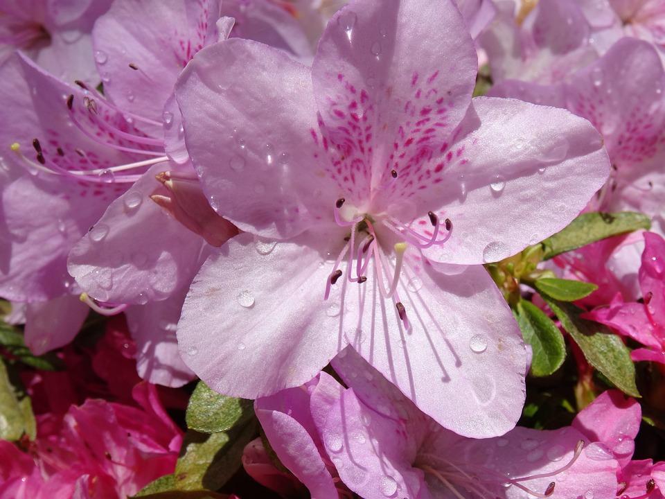 National Rhododendron Gardens, Victoria, Season, Azalea