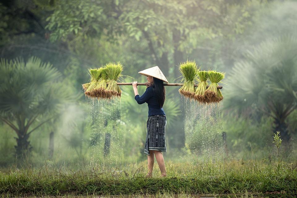 Harvesting, Myanmar, Burma, Rice Plantation, Vietnam