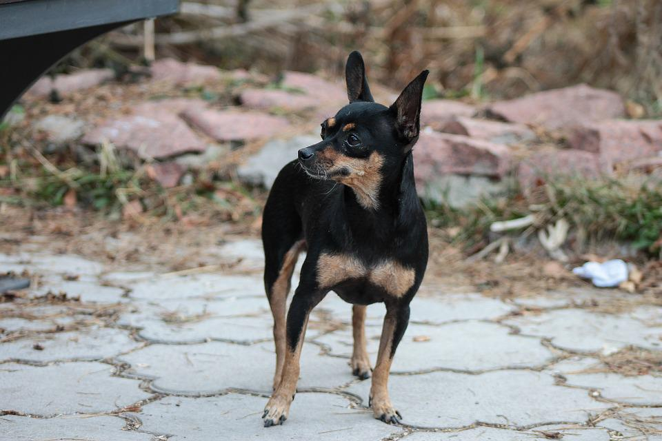 Toy Terrier, Dog, View, Autumn, Pets
