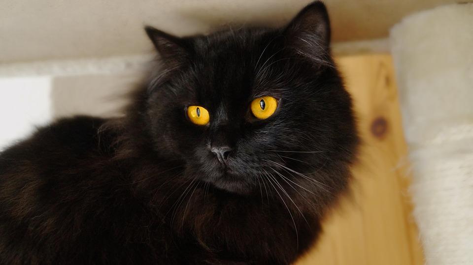 Cat, Black, View, Cat's Eyes