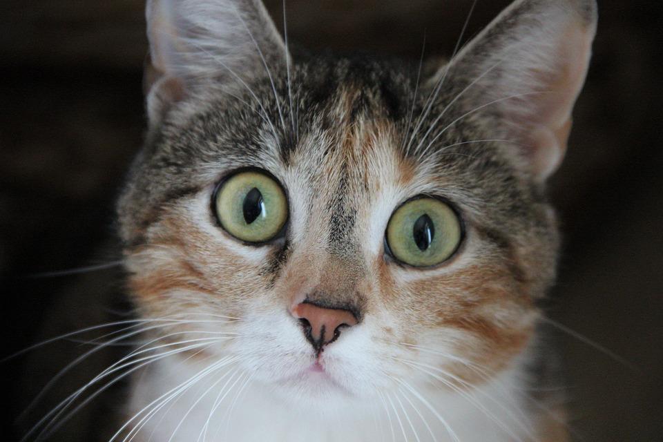 Cat, House Kate, Animal, Eyes, View, Sad, Longing