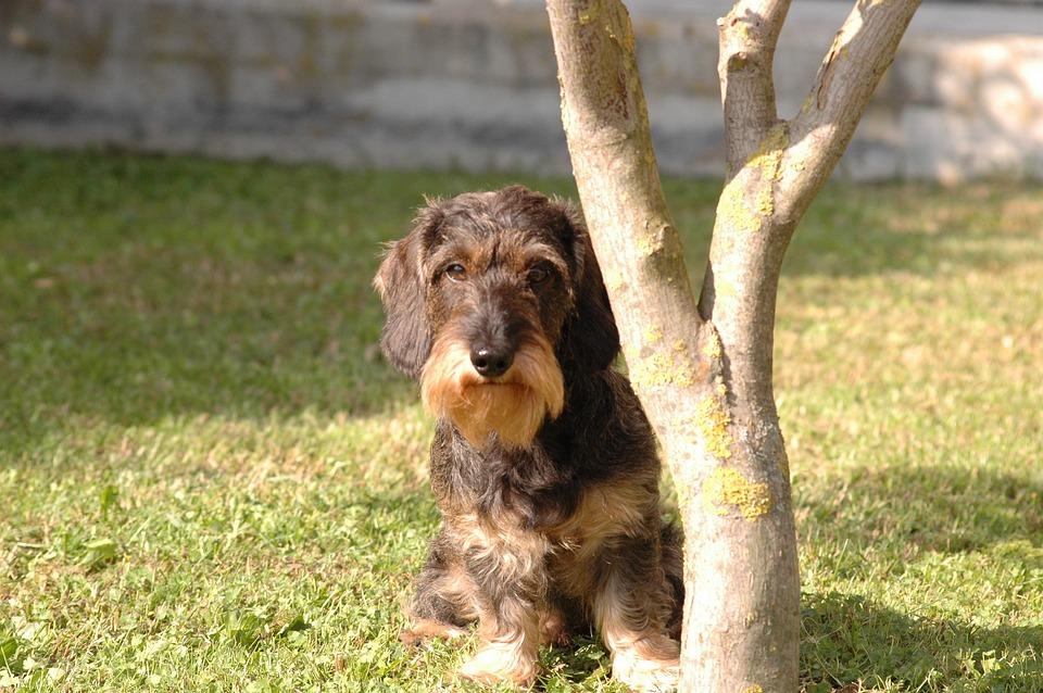 Dog, Dachshund, View