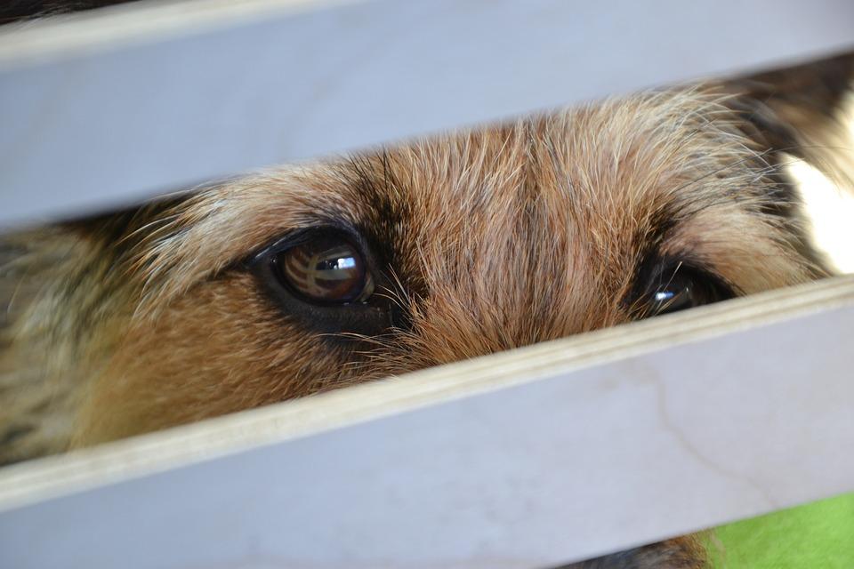 Dog, Eyes, View, Loyalty, Animal