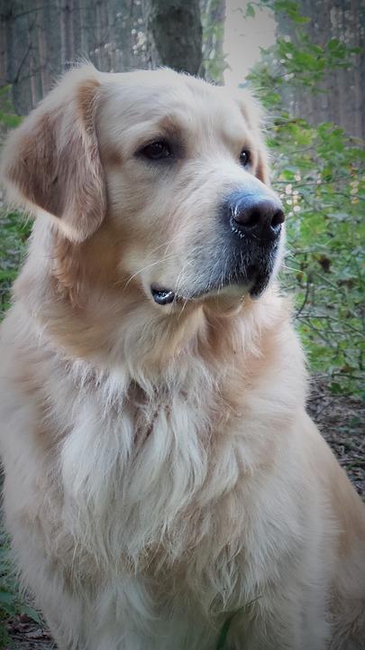 Golden Retriever, Pet, Dog, Animal Portrait, Face, View