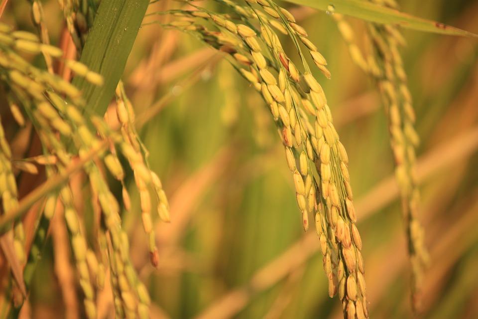 Padi, Old Rice, Yellow, Harvest, Natural, View