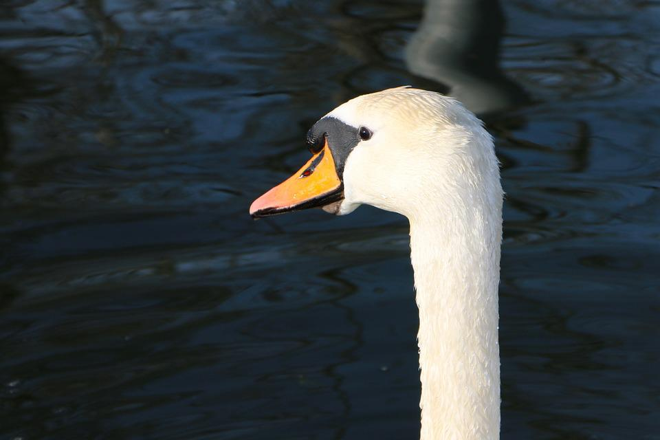 Swan, Head, View, Attention