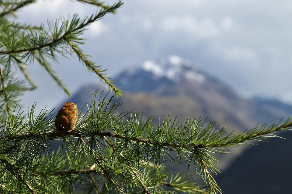 Larch, Coniferous, View, Tops, The Prospect Of