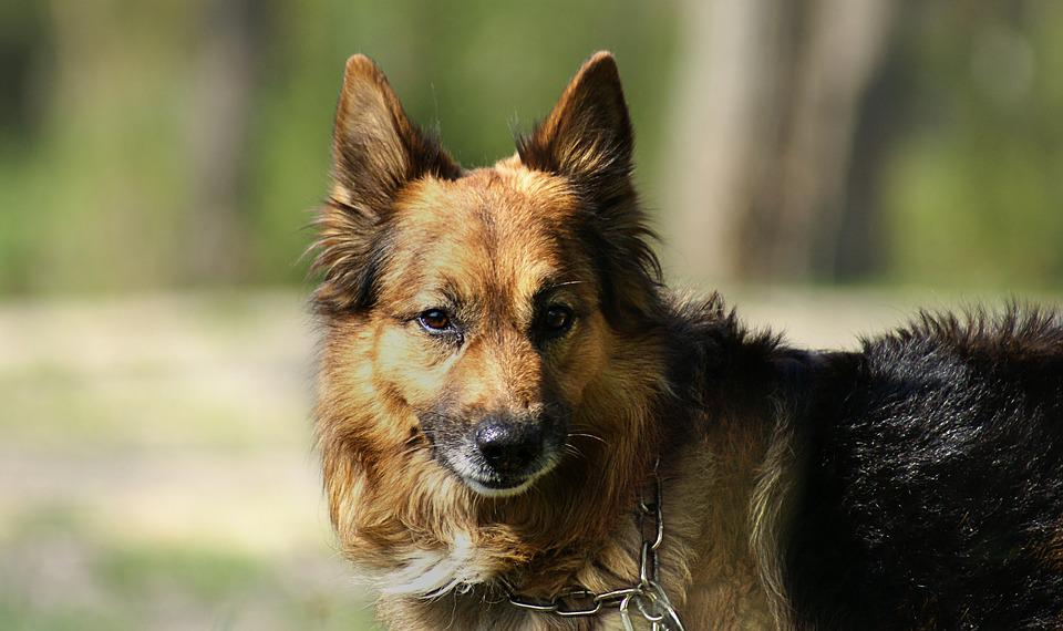 German Shepherd, Dog, Pet, Animal, Animals, Vigilant