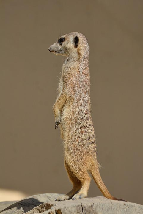 Meerkat, Meercat, Scharrtier, Watch, Vigilant, Ausschau