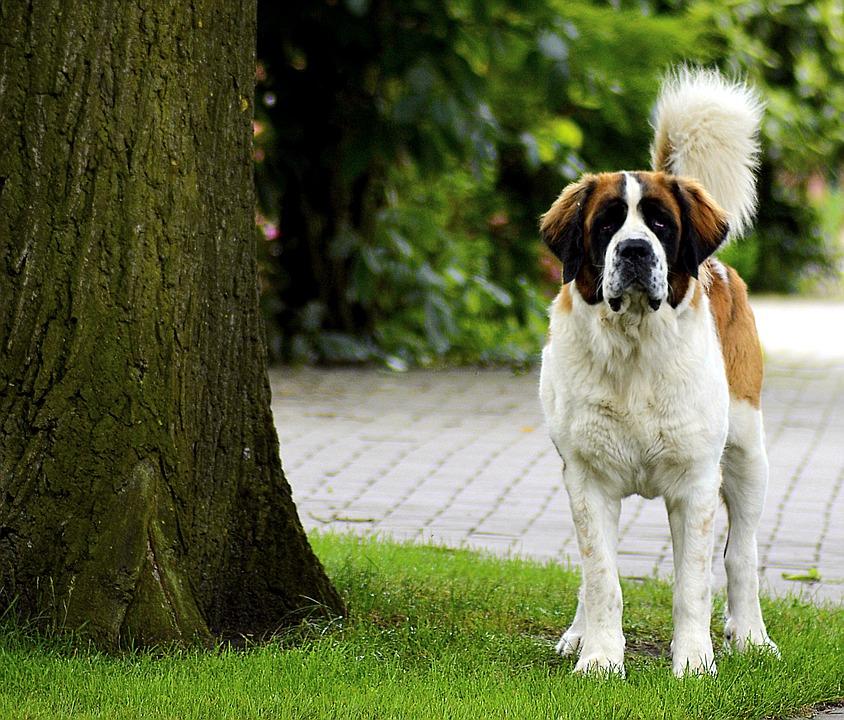 St Bernard, Vigilant, Dog, Cute, Pet, Animal