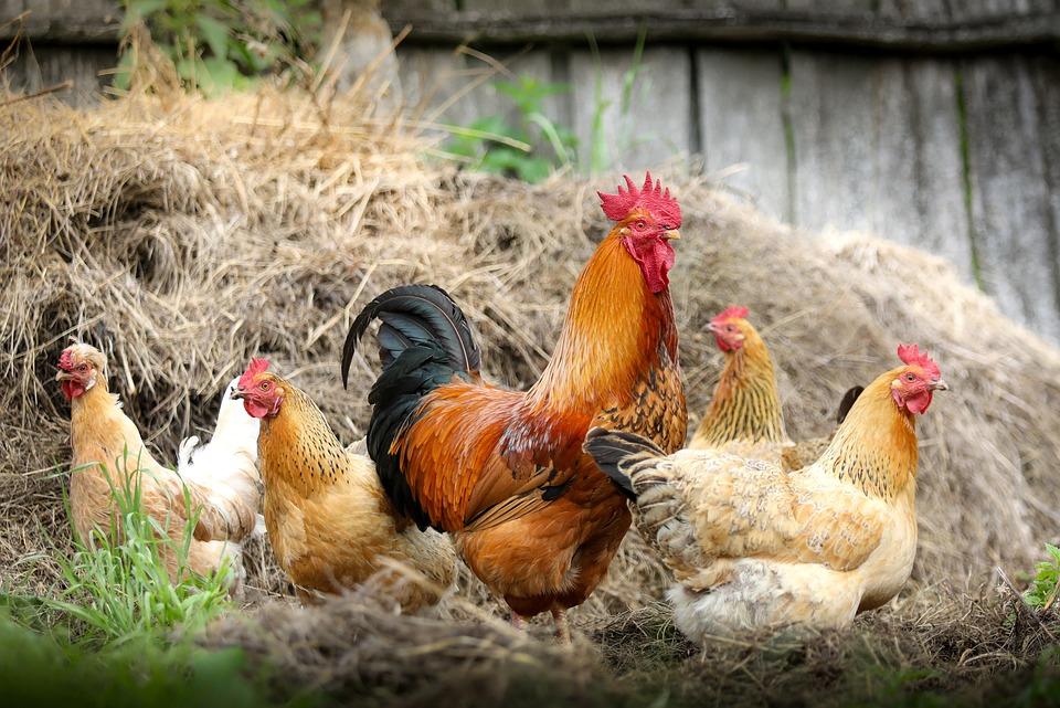 Cock, Farm, Village, Chicken, Polygamy