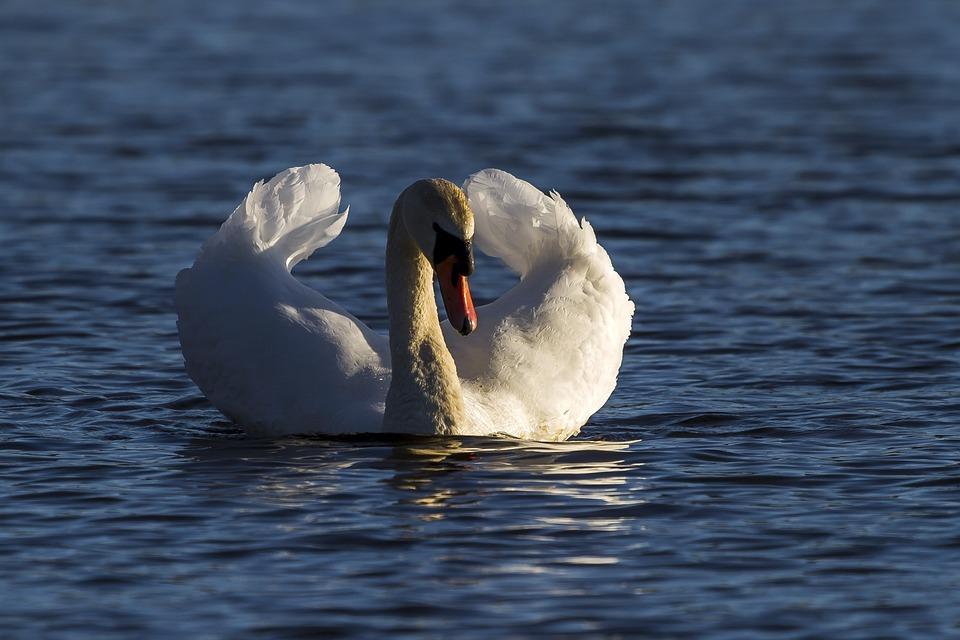 Water, Swans, Villfugl