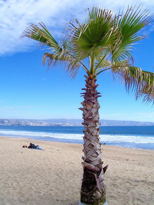Beach, Palm, Sand, Sea, Palm Tree, Viña Del Mar