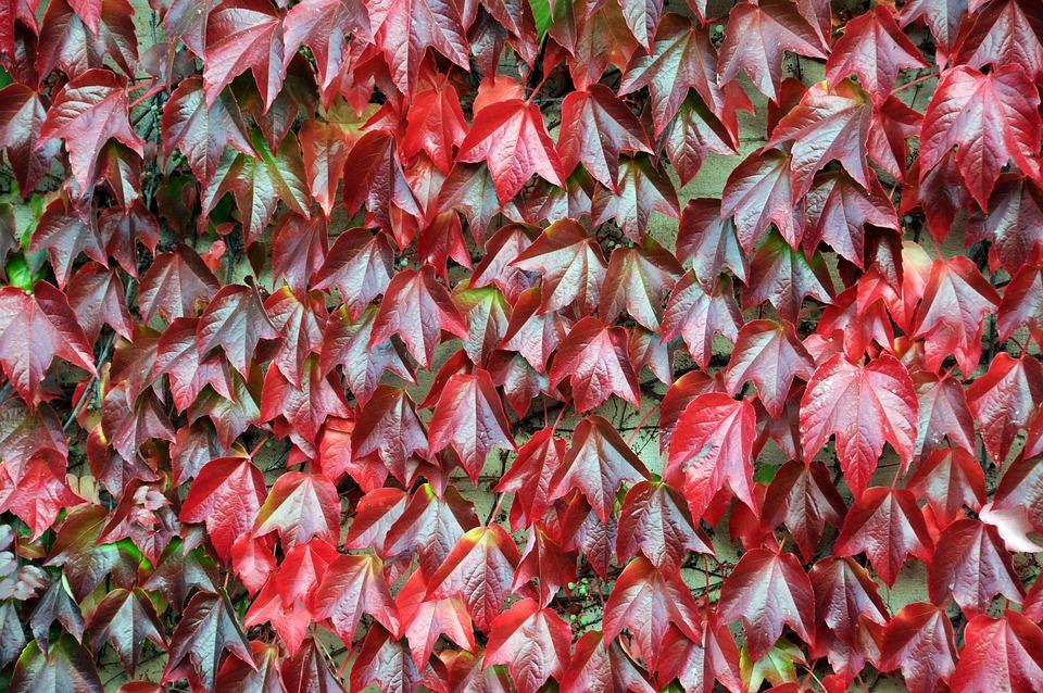 Vine, Red, Autumn, Close, Hands, Autumn Mood, Leaves
