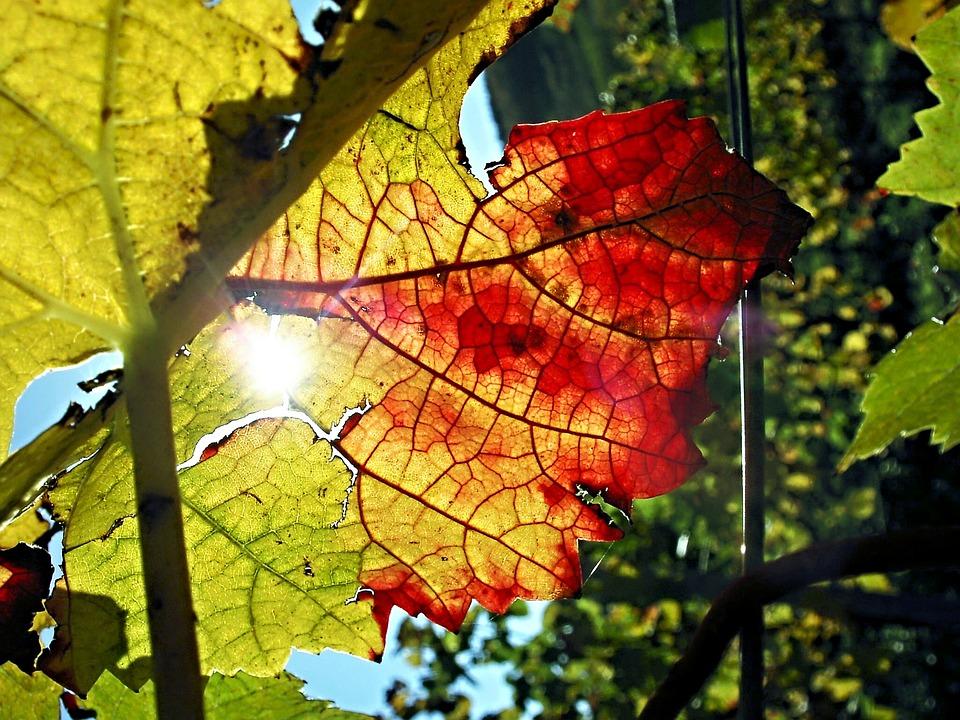 Vine, Autumn, Leaf, Back Light, Close, Emerge
