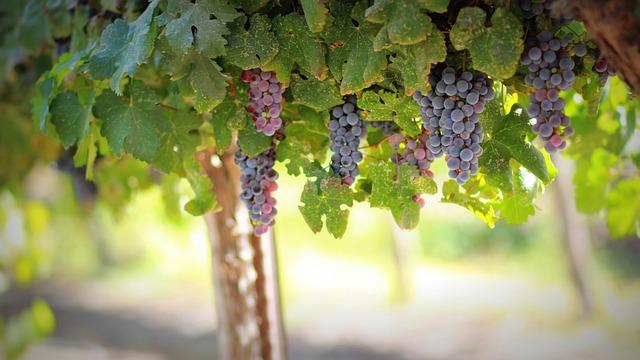 Grapes, Fruit, Food, Ripe, Vine, Berries