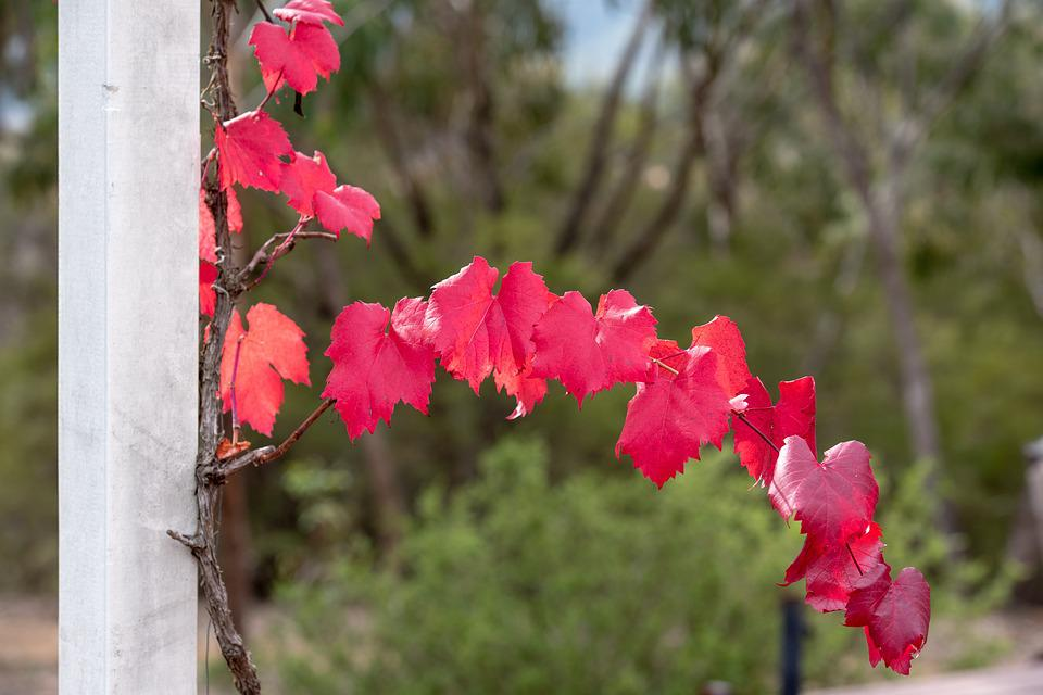 Grape Vine, Vine, Leaf, Autumn, Colourful, Red, Plant