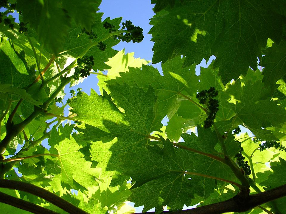 Vine, Grape, Green