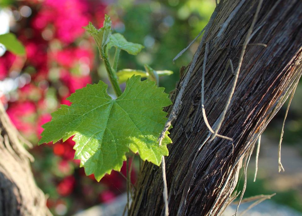 Leaf, Grape, Vine, Plant, Vineyard, Nature