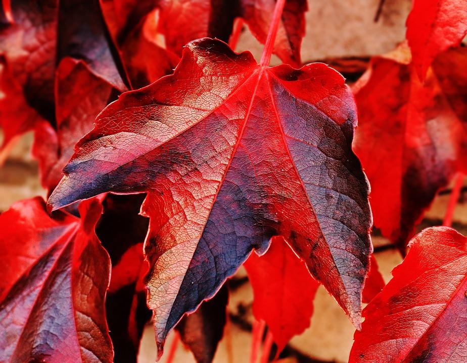 Wine Partner, Wild Vine Leaves, Plant, Vine Leaves