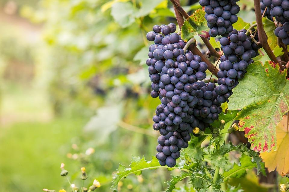Wine, Grapes, Pinot Noir, Vine, Leaf, Autumn, Green