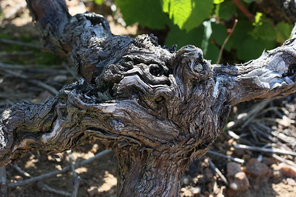 Cep, Vine, Grape, Vines, Plant, Winegrower, Beaujolais