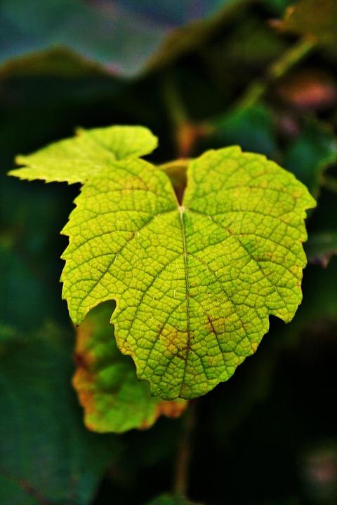 Vine Leaf, Leaf, Grape, Vine, Young, Tender, Green