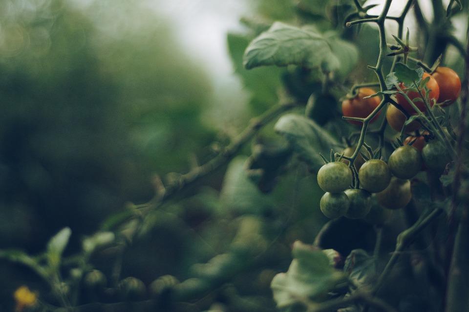 Tomato, Vine, Garden, Healthy, Fresh, Vegetables