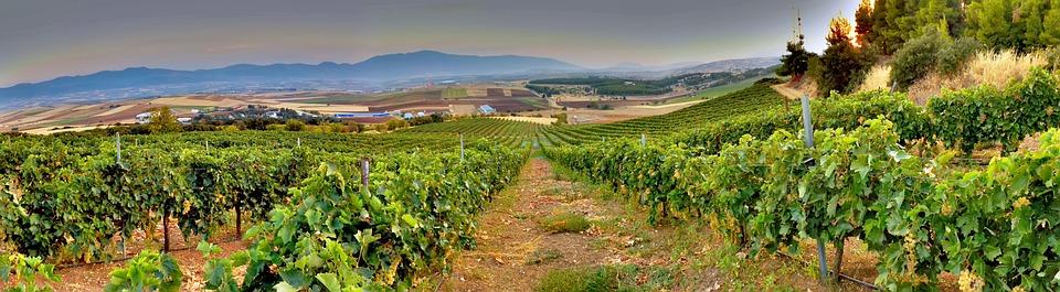 Vineyard, Vines, Vine